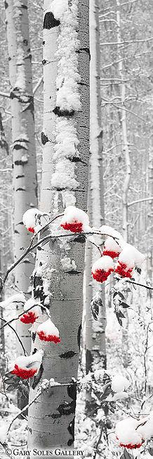 Snowberries BW Red Berries.jpg