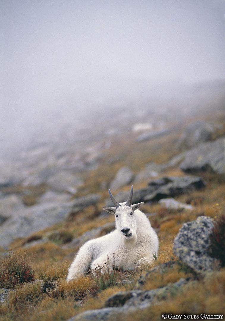 Sitting Mtn Goat