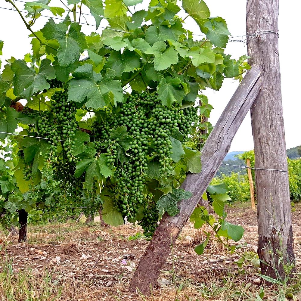 White grapes on grapevines - Neos Marmaras - Greece