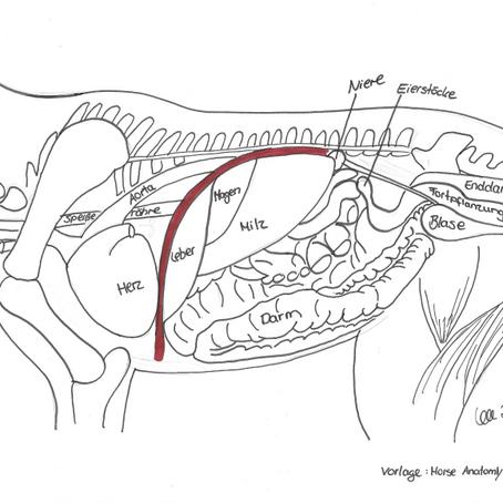 Das Zwerchfell – Diaphragma abdominale