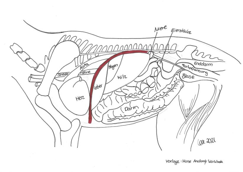 zwerchfell Pferd diaphragma pferd organe Herz leber Atemprobleme