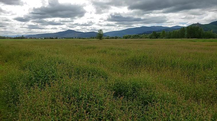 smartweed field