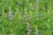 rblupines (8).JPG