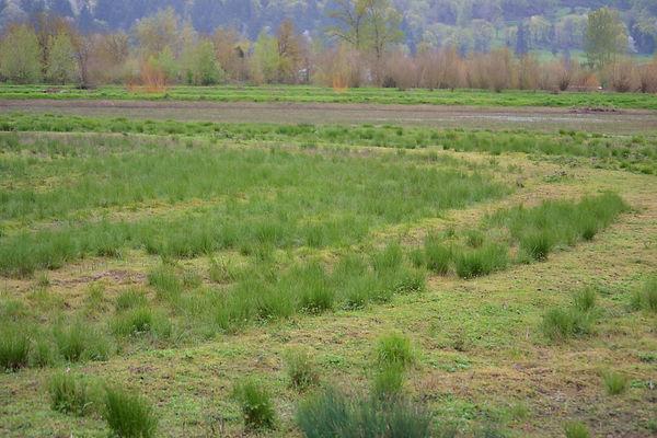 slender rush field
