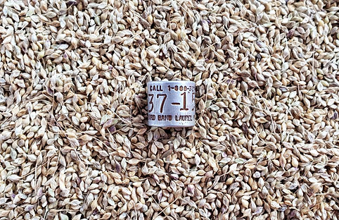 wild millet seed