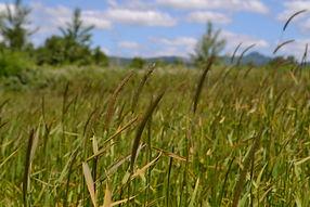 meadow barley