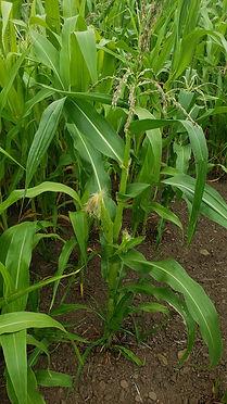 short corn