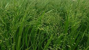 wild millet.jpg
