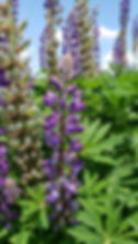 big leaf lupine2.jpg