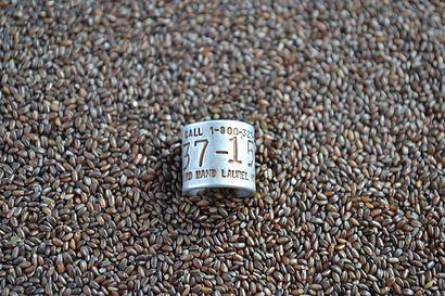 mannagrass seed