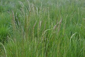 spike bentgrass