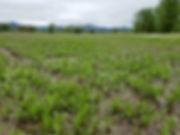water plantain field