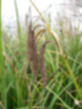 slough sedge