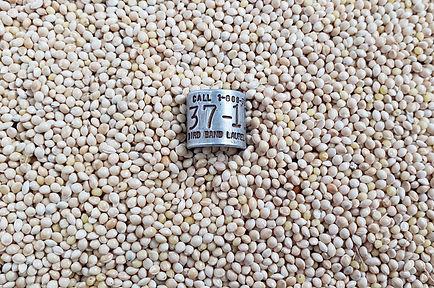 prosomillet seed