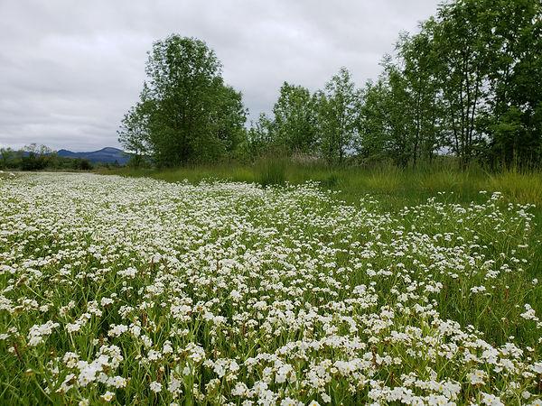 popcorn flower field