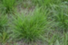 tufted hairgrass (8).JPG