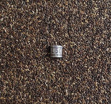 wild proso millet