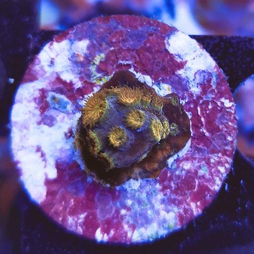 WYSIWYG Cyphastrea WWC Copperhead (DNZ)
