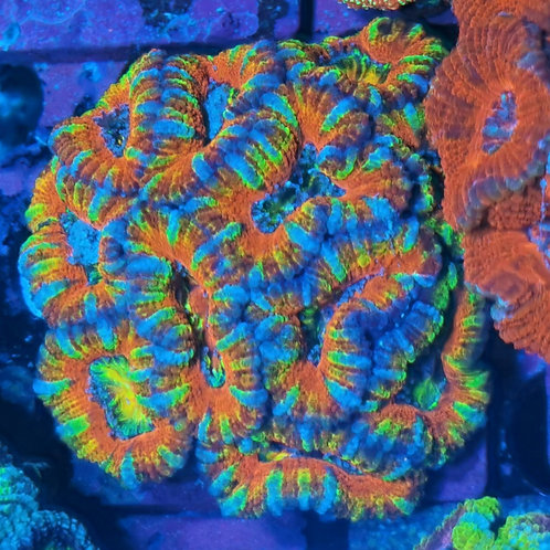 """Acanthastrea Micromussa lordhowensis """"CL Rossi Rainbow"""""""