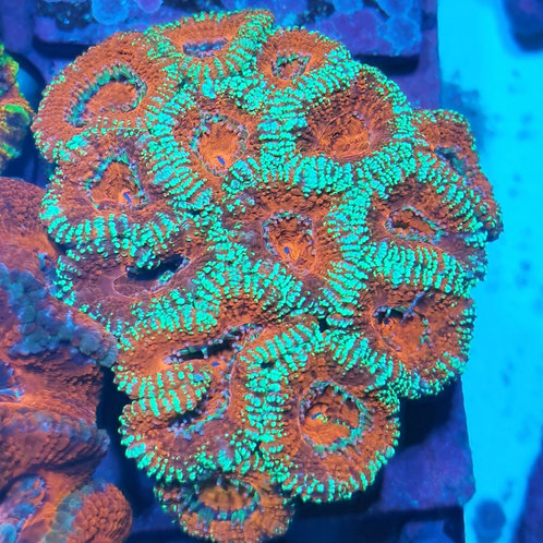 """Acanthastrea """"CL RedSnowFlake"""""""