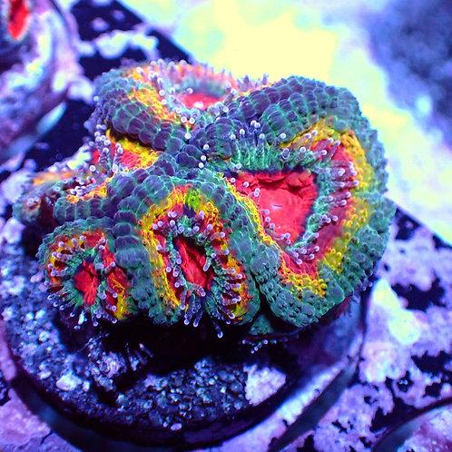 WYSIWYG Acanthastrea Lordhowensis Rainbow (NZ)