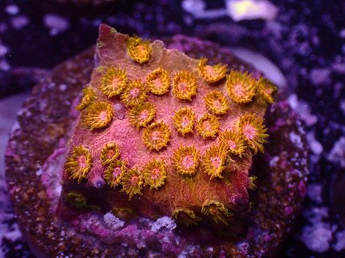 WYSIWYG Cyphastrea WWC Copperhead (NZ)