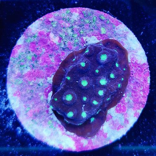 WYSIWYG Cyphastrea CL neon head (DNZ)