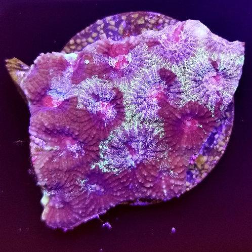 WYSIWYG Favia Pink Marmor
