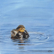 Duckling in Blue Water