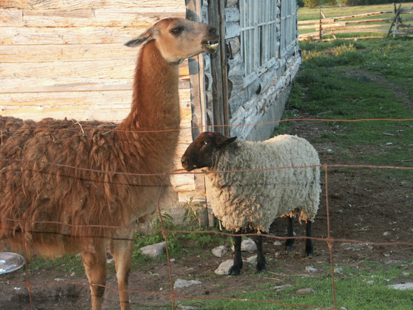 """...""""watch out - llamas spit""""..."""