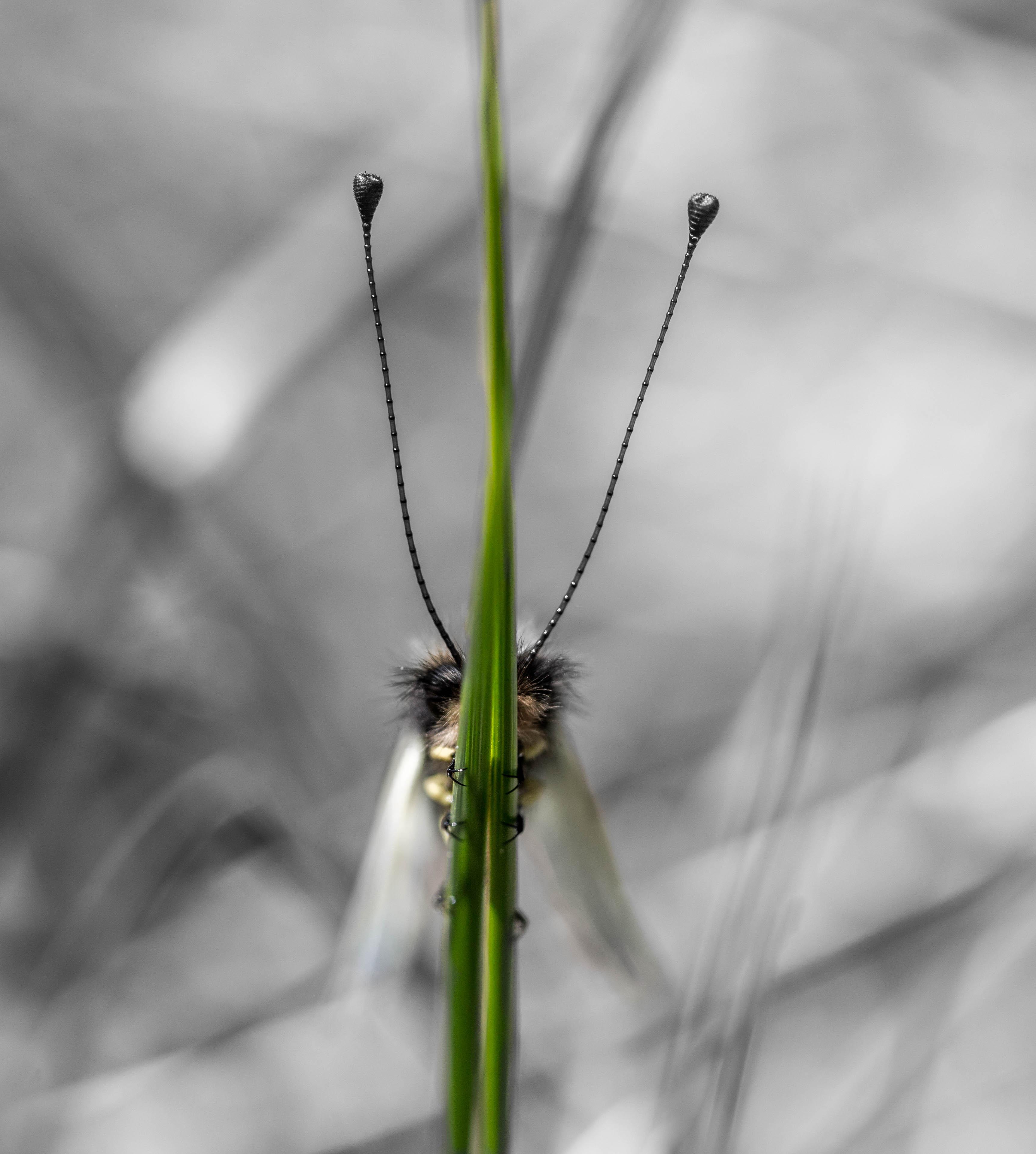 Ascalaphe (Libelloides lacteus)