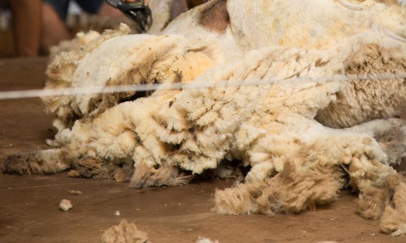 Churchill Island Sheep Sheering