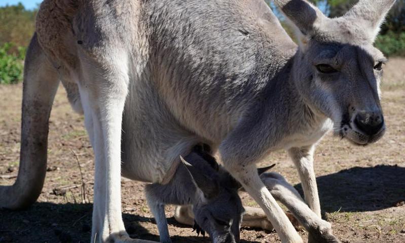 Mummy & Baby Roo