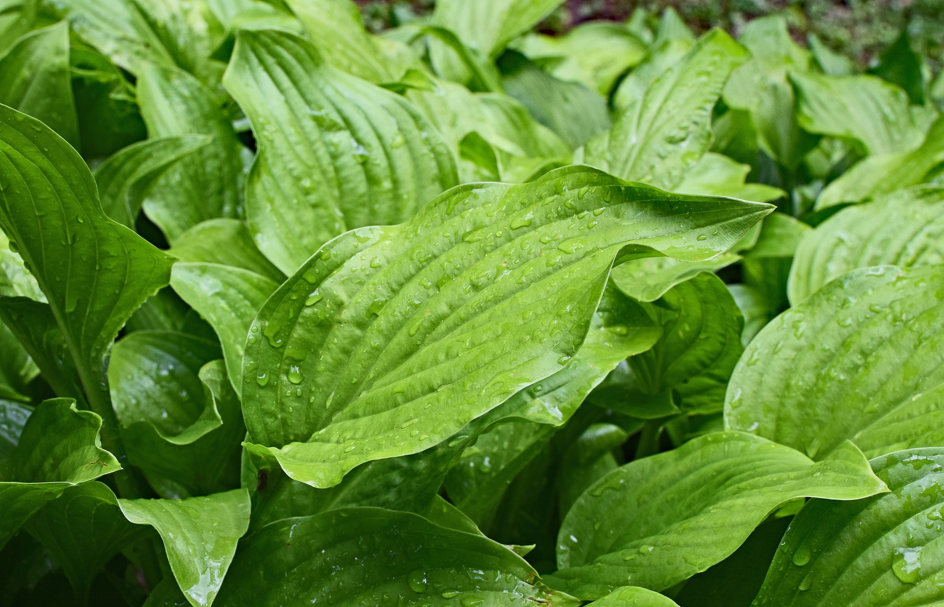 rain-wet-plantain-lily-leaves-2438603_1920.jpg