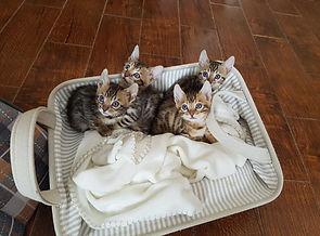 Chatons de la Chatterie CatBengal
