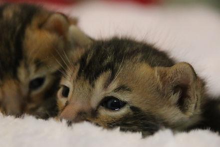 Petits chatons de la Chatterie Catbengal