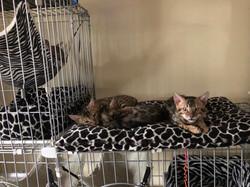les chatons