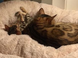 Beyoncé et son chaton de la Chatterie CatBengal