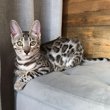 Miss Cher bengal