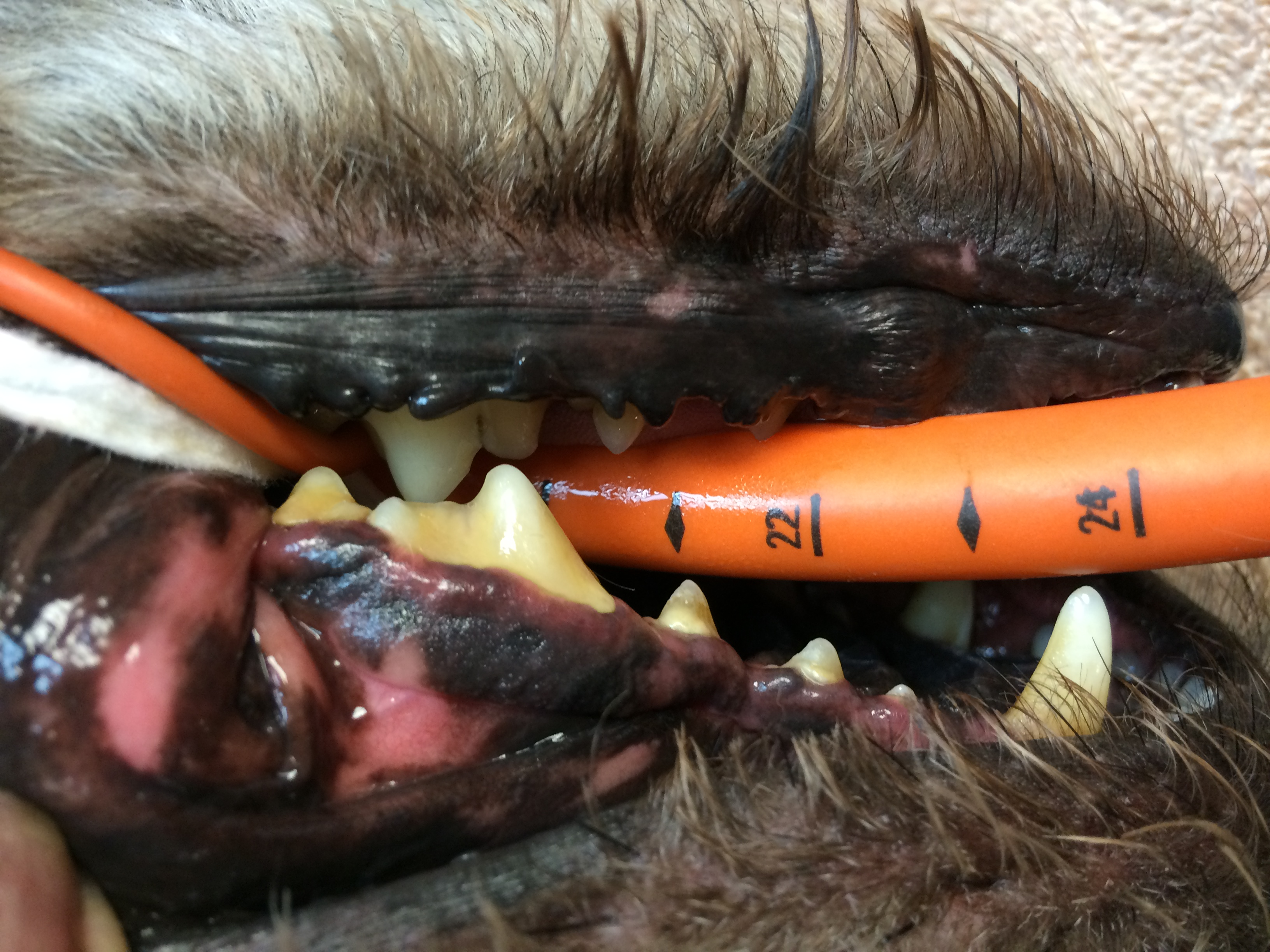 Pimpon avec de la plaque dentaire