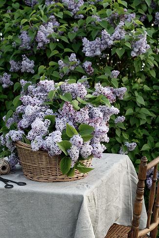 LilacsMorning_015.jpg