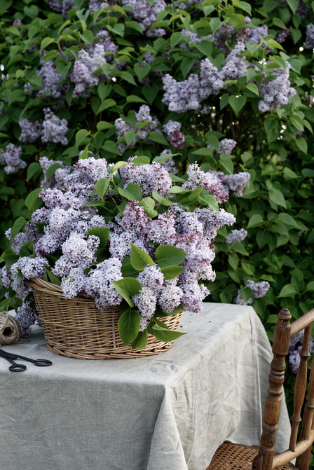 Lilacs in the morning