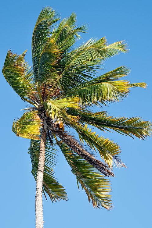 Zanzibar Palm