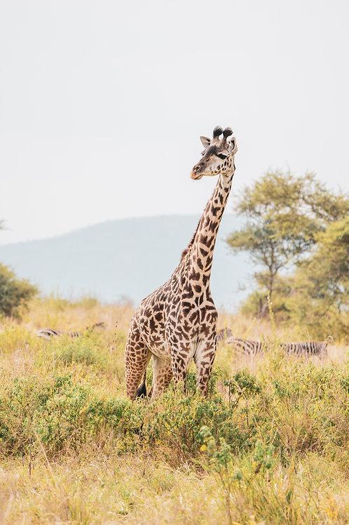 Stand Alone Giraffe