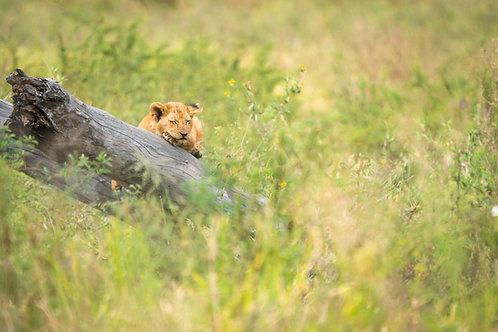 Single Lion Cub