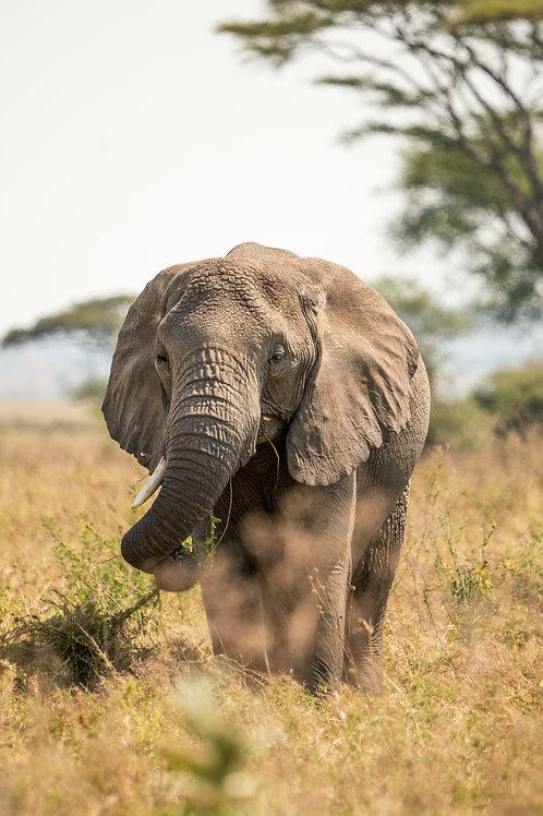 Serengeti Gentle Giant