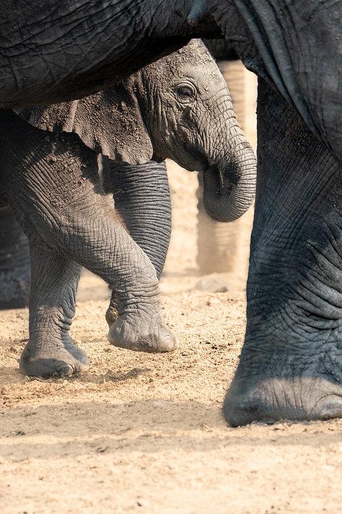 Hiding Baby Elephant