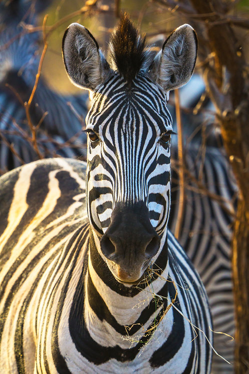 Zebra in the Zone