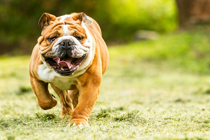 bulldog-running.jpg
