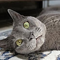 Grey Cat _ Atta Boy! Animal Care _ Pet S